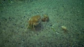 invertebrates : Fauna of the Black Sea. Ukraine. Swimming crab (Macropipus holsatus), female Stock Footage