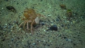 krab : Fauna of the Black Sea. Ukraine. Swimming crab (Macropipus holsatus), female Wideo