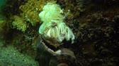 celta : Cocoons of the predatory mollusk Rapana venosa, the invader in the Black Sea. Fauna of the Black Sea Vídeos