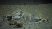 krab : Crabs of the Redfish (Macropipus holsatus) eat jellyfish Aurelia aurita