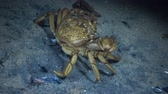 pençeleri : Large herbal crab, male. Green crab (Carcinus maenas). Invasive species Stok Video