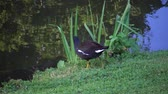 bažina : The common moorhen (Gallinula chloropus) (also known as the waterhen and as the swamp chicken) is a bird species in the family Rallidae