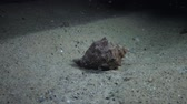 invading : The predatory gastropod Veined Rapa Whelk (Rapana venosa) crawls along the sandy bottom