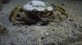 krab : Big Green crab (Carcinus maenas) runs fast over the sand