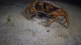 invasive : Big Green crab (Carcinus maenas) runs fast over the sand