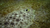 krab : Fish of the Black Sea. Flat fish Sand sole Pegusa lascaris , similar to sand, slowly floats and lies at the bottom, raising the fin
