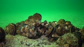 invading : Mediterranean mussel (Mytilus galloprovincialis) and crustacea Balanus sp. Mass settlement. Black Sea. Ukraine.