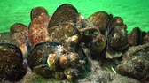 mediterranean mussel : Mediterranean mussel (Mytilus galloprovincialis) and crustacea Balanus sp. Mass settlement. Black Sea. Ukraine.