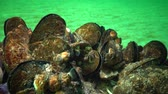ハマグリ : Mediterranean mussel (Mytilus galloprovincialis) and crustacea Balanus sp. Mass settlement. Black Sea. Ukraine.