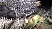 espinhoso : Hedgehog (Erinaceus europaeus) running on the ground. A prickly animal that feeds on insects, worms