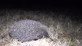 snout : Hedgehog (Erinaceus europaeus) running on the ground. A prickly animal that feeds on insects, worms