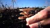 поганка : Hand with manicure tears the mushroom in the grass, inedible dangerous mushroom, you can Стоковые видеозаписи