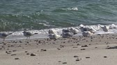 racek : Seagulls on the shore of the Black Sea. Gull stand on the beach. Gulls fly and go near the sea Dostupné videozáznamy