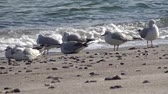 hejno : Seagulls on the shore of the Black Sea. Gull stand on the beach. Gulls fly and go near the sea Dostupné videozáznamy
