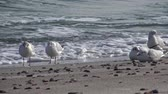 ringa : Seagulls on the shore of the Black Sea. Gull stand on the beach. Gulls fly and go near the sea Stok Video