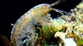 crustacea : A small crustacean of the genus Gammarus, caught by a small Actinia-an invader in the Black Sea Diadumene lineta