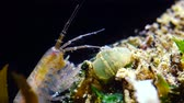 lagostim : A small crustacean of the genus Gammarus, caught by a small Actinia-an invader in the Black Sea Diadumene lineta