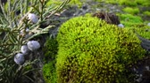 crescido : Mosses are small flowerless plants Bryophyta Stock Footage