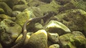 európa : Under the water in the Black Sea, Bulgaria. The dice snake (Natrix tessellata) is a European nonvenomous snake of the to the family Colubridae, subfamily Natricinae. Stock mozgókép