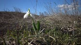 marchs financiers : Amaryllidaceae, Amaryllidoideae, Galanthus elwesii (Elwess snowdrop, greater snowdrop) in the wild on the slopes of the Tiligul estuary, Red Book of Ukraine Stock Footage