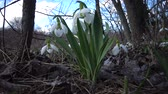 first flowers : Amaryllidaceae, Amaryllidoideae, Galanthus elwesii (Elwess snowdrop, greater snowdrop) in the wild on the slopes of the Tiligul estuary, Red Book of Ukraine Stock Footage