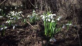 przebiśniegi : Amaryllidaceae, Amaryllidoideae, Galanthus elwesii (Elwess snowdrop, greater snowdrop) in the wild on the slopes of the Tiligul estuary, Red Book of Ukraine Wideo