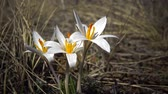 delicado : Crocus reticulatus. A perennial bulbous plant in the wild on the slopes of the Tiligul estuary, the Red Book of Ukraine