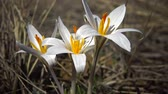 Crocus reticulatus. A perennial bulbous plant in the wild on the slopes of the Tiligul estuary, the Red Book of Ukraine