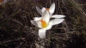 narin : Crocus reticulatus. A perennial bulbous plant in the wild on the slopes of the Tiligul estuary, the Red Book of Ukraine