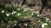 perce neige : Amaryllidaceae, Amaryllidoideae, Galanthus elwesii (Elwess snowdrop, greater snowdrop) in the wild on the slopes of the Tiligul estuary, Red Book of Ukraine Vidéos Libres De Droits