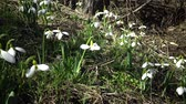 flower growing : Amaryllidaceae, Amaryllidoideae, Galanthus elwesii (Elwess snowdrop, greater snowdrop) in the wild on the slopes of the Tiligul estuary, Red Book of Ukraine Stock Footage