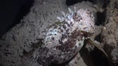 рыбаки : European black scorpionfish (Scorpaena porcus), Black Sea, Bulgaria