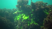 Kelp Cystoseira barbata and green algae in the coastal zone of the sea Стоковые видеозаписи
