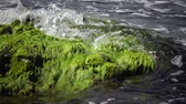 ecological : Green algae on rocks at shallow depths near the coast, Black Sea, Bulgaria