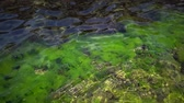 Green algae on rocks at shallow depths near the coast, Black Sea, Bulgaria