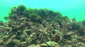 mexilhões : Mussels Mytilus galloprovincialis and seaweed Bryopsis on stones, Black Sea