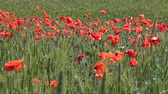 Papaver rhoeas, Wild poppy growing on the wheat field