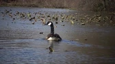 gansos : The Canada goose (Branta canadensis), birds floating on the lake among the leaves of water lilies, Karnegy Like, NJ USA