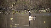 oison : The Canada goose (Branta canadensis), birds floating on the lake among the leaves of water lilies, Karnegy Like, NJ USA