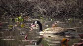 mama : The Canada goose (Branta canadensis), birds floating on the lake among the leaves of water lilies, Karnegy Like, NJ USA