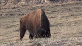 bika : The American bison or buffalo (Bison bison). The Theodore Roosevelt National Park, North Dakota