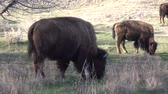 bizon : The American bison or buffalo (Bison bison). The Theodore Roosevelt National Park, North Dakota