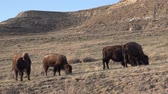 pastvisko : The American bison or buffalo (Bison bison). The Theodore Roosevelt National Park, North Dakota