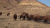 bivaly : The American bison or buffalo (Bison bison). The Theodore Roosevelt National Park, North Dakota