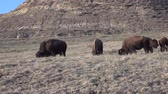 touro : The American bison or buffalo (Bison bison). The Theodore Roosevelt National Park, North Dakota