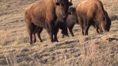 kahverengi : The American bison or buffalo (Bison bison). The Theodore Roosevelt National Park, North Dakota
