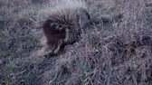 quill : The North American porcupine (Erethizon dorsatum), also known as the Canadian porcupine or common porcupine Stock Footage