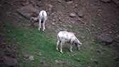 rammen : Bighorn Sheep (Ovis canadensis) is de zeldzaamste biggissoort in North Dakota. Stockvideo