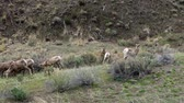 male animal : Bighorn Sheep (Ovis canadensis) are the rarest big game species in North Dakota.