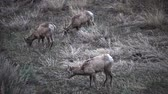 氷河の : Bighorn Sheep (Ovis canadensis) are the rarest big game species in North Dakota.